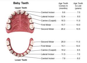 Diagram of primary teeth