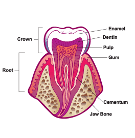Parts of a human tooth